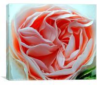 Old English Rose, Canvas Print
