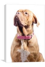 French Mastiff