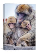 Barbary Macaque, Canvas Print