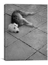 Lazy Bedlington Terrier, Canvas Print