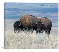 Bison, Canvas Print