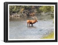 Elk In The Water, Canvas Print