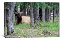 Yellowstone Park Cow Elk, Canvas Print