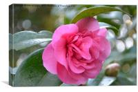 Camelia In Bloom, Canvas Print