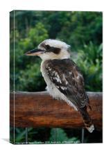 kookaburra rests after fishing, Canvas Print