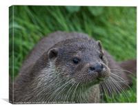 European Otter (Lutra lutra), Canvas Print