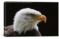Bald Eagle Haliaeetus leucocephalus, Canvas Print