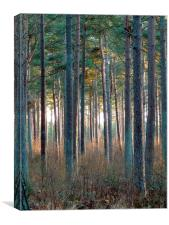 Tentsmuir Pine, Canvas Print