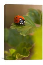 Ladybird Ladybird, Canvas Print