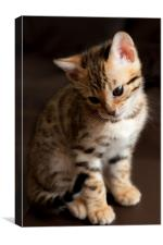 Bengal Kitten, Canvas Print