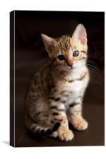Cute Bengal kitten, Canvas Print