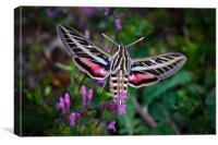 Hummingbird Moth, Canvas Print