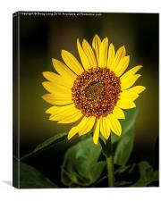 Common Sunflower, Canvas Print