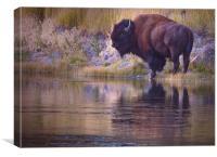 Bison Reflection