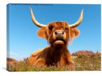 Highland Cow, Highland Cattle, Scotland, Canvas Print