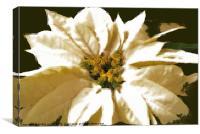 white pointsettia, Canvas Print