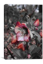 a rose by any other name, Canvas Print