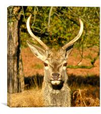 Another deer in Richmond Park, Canvas Print