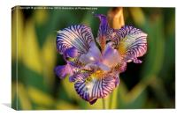 A Colourful Iris in a French Garden