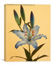 A beautiful Blue Lily, Canvas Print