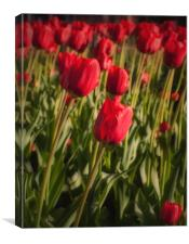 Tulips in Spring, Canvas Print