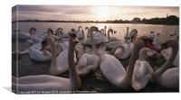 Swanning about., Canvas Print