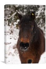 Pony in the snow, Canvas Print