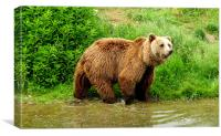 Brown Bear, Canvas Print