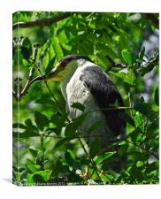 Black Capped Night Heron, Canvas Print