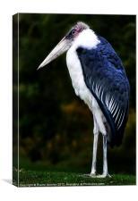 African Marabou Stork, Canvas Print