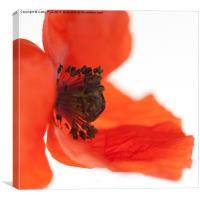 Orange poppy, Canvas Print