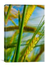 Crops close up, Canvas Print
