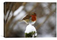 Robin on snowy stump, Canvas Print