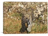 Leopard in Africa, Canvas Print