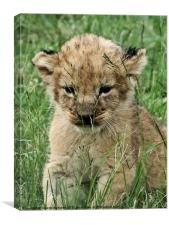 Lion Cub, Canvas Print