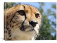 Cheetah Stare, Canvas Print