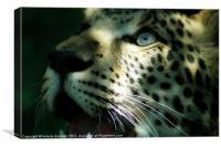 leopard eyes, Canvas Print