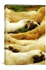 Lion Paws, Canvas Print