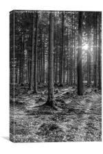 Spruce Sunbeams, Canvas Print