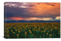 God's Sunflower Sky, Canvas Print