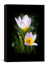Pastel Pink Tulips, Canvas Print