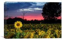 Sunflower Field At Sunset, Canvas Print