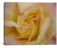 Favourite Rose, Canvas Print