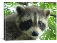Babcy Raccoon, Canvas Print