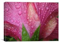 Hibiscus after the rain, Canvas Print