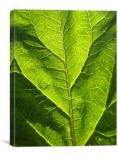 Rhubarb leaf, Canvas Print
