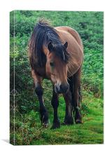 Brown Dartmoor Pony, Canvas Print