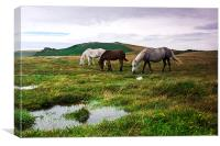 Three Dartmoor Pony`s, Canvas Print