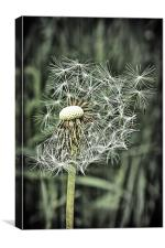 Gone to seed, Canvas Print