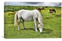 Dartmoor Ponies, Canvas Print